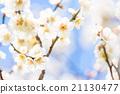 梅 白梅花 花朵 21130477