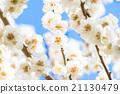 梅 盛开 开花的 21130479