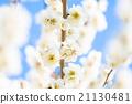 梅 盛开 开花的 21130481
