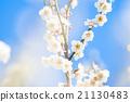 梅 盛开 开花的 21130483