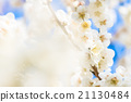 梅 盛开 开花的 21130484