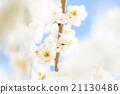 梅 盛开 开花的 21130486