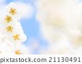 梅 盛开 开花的 21130491