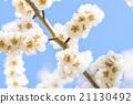 梅 盛开 开花的 21130492