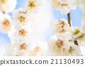 梅 盛开 开花的 21130493