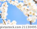 梅 盛开 开花的 21130495