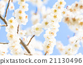 梅 盛开 开花的 21130496