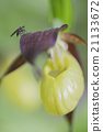 Housefly on a lady's slipper orchid 21133672