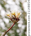 Thaihite yellow aroma plumeria flowers on the tree 21148654