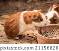 Cute guinea pig feeding. 21156828
