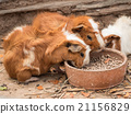 Cute guinea pig feeding. 21156829
