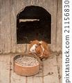Cute guinea pig. 21156830
