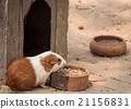 Cute guinea pig. 21156831