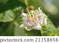 Passiflora foetida blossuim spring 21158656