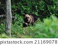 brown, bear, ussuri 21169078