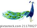 孔雀 鳥兒 鳥 21170027