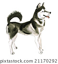 Watercolor illustration of dog husky  21170292