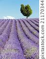 lavender field, Valensole, Provence, France 21170344