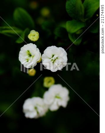 Pullnifolia 21174495