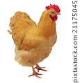 Chicken Hen Isolated 21175045