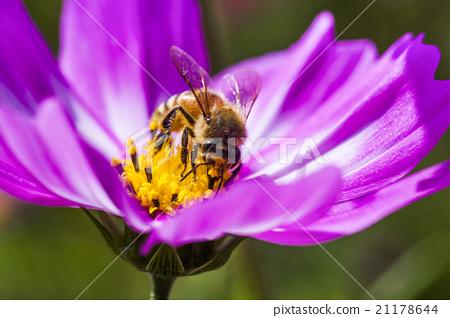 在波斯菊上採蜜的蜜蜂 21178644