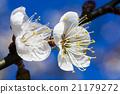 梅花 花朵 花卉 21179272