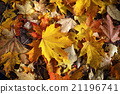 Autumn maple leaves 21196741