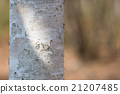 桦木 21207485