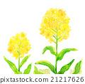 유채 꽃 수채화 21217626