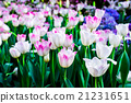 White tulips flower field blooming in the garden. 21231651