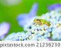 樹蛙 繡球花 花朵 21236230