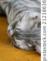 American Short Hair Blue Tabby 21238636