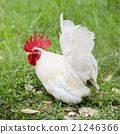 One white rooster 21246366