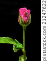 one red rose on a black background 21247622