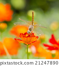 Dragonfly on orange flower with orange flowers  21247890