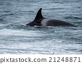 Orca attack a seal on the beach 21248871