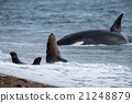 Orca attack a seal on the beach 21248879