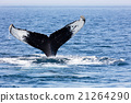 Tail of Whale, Cape Cod 21264290