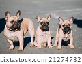 Three Funny Lovely French Bulldogs Dogs Puppies 21274732