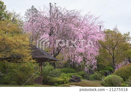 Spring retirement hall, branch cherry blossoms of Mikakuen, Kyoto 21275018