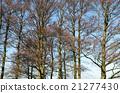 tree, trunks, bare 21277430