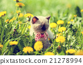 Little kitten walking in dandelion lawn 21278994