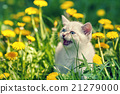 Little kitten walking in dandelion lawn 21279000