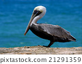 f little white black pelican whit black eye 21291359