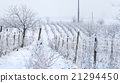 wine yard in winter full of snow 21294450
