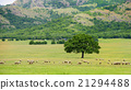 sheeps grazing near an oak 21294488