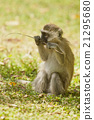 Cub of Vervet Monkey 21295680