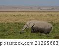 Elephant grazing in the Savannah 21295683