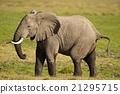 Elephant in the Savannah 21295715