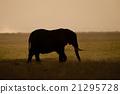 Elephant seen backlit 21295728